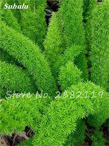 120 Pcs rares Wu bambou sétaire semences de plantes ornementales Bonsai herbes Plantes vivaces Jardin intérieur Graines Potted Fresh Air Facile à cultiver 5