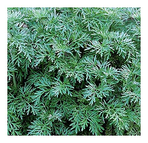 Artemisia absinthium - Wermut - 15 Samen