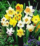 Cioler Seed House - Narcisse parfumé Mélanger des graines de fleurs Narcisse en fleurs avec des fleurs colorées Fleurs de Printemps Fleurs de printemps Fleurs vivaces pour jardin Balcon/Terrasse