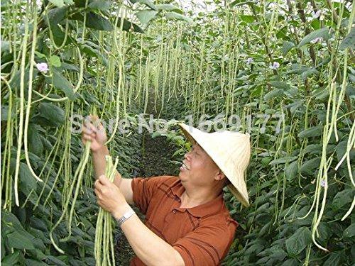 Escalade graines de niébé graines de légumes balcon en pot caroube 20