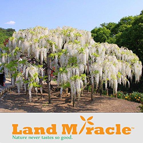 5 graines/paquet, Plants de fleurs d'escalade rares graines de White Wisteria, Bonsai Wisteria Sinensis arbres pour plantes Bricolage & Jardin