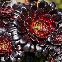 Purple Rose Aeonium Succulent Seeds (Aeonium arboreum 'Atropurpureum') 20+Seeds
