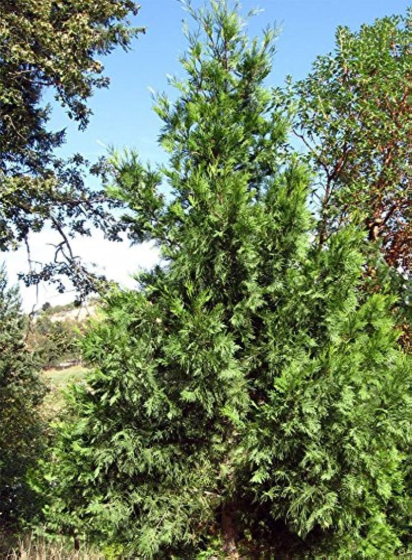 プロフィール最大の裏切り者Calocedrusはdecurrens - 香 - 杉を。 Calocedrusは、常に健康的に見えますdecurrens。あなたは今までにトラブル成長の種を持っている場合、これは試してみる種です。これは、ヒノキ種子の偽の杉群では私たちのお気に入りの種の一つです。