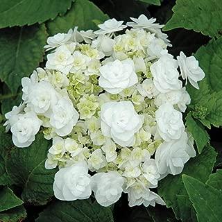 Best wedding hydrangea plants Reviews