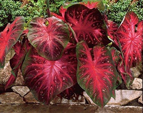Caladium Red Flash,(10 Bulbs) Thrives in Heat and Humidity, Elephant Ears