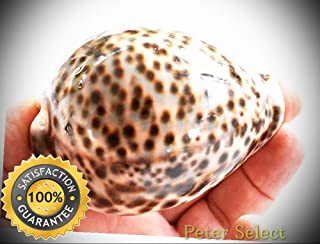 One Select Tiger Cowrie (Cypraea Tigris) Shell 3