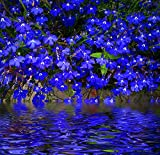 Kisshes Seedhouse - 100 Blue Lobelia Graines Plantes à Fleurs Ornementales Maison Jardin Extérieur Vivaces Graines