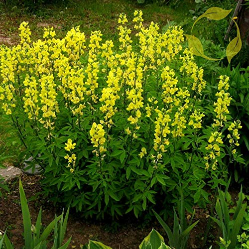 NP - Carolina Lupine Thermopsis caroliniana villosa - 10+ Seeds - OMS - Flower Decoration Vegetable Plant Seedling for Your Garden Decoration
