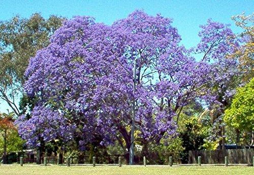 jacaranda, flamboyant bleu, arbre de fleurs bleues, 10 graines