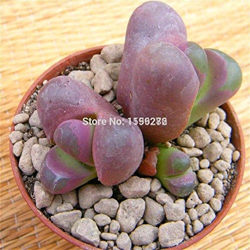100 Graines Lithops Succulentes Raw Pierre Cactus Graines pot Fleurs Charnu Semillas De Flores semences Bonsai petites plantes pour le jardin