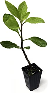 gynura procumbens plant for sale
