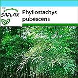 SAFLAX - Set regalo - Bambú moso - 20 semillas - Con caja regalo/envío, etiqueta para envío, tarjeta de felicitación y sustrato de cultivo y fertilizante - Phyllostachys pubescens