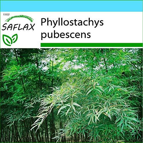 SAFLAX - Kit cadeau - Bambou Moso - 20 graines - Phyllostachys pubescens