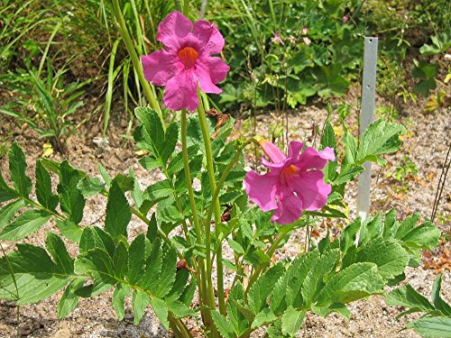 Garten-Gloxinie Incarvillea delavayi 50 Samen