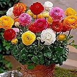Ranunculus Asiaticus Lot de 50 graines de fleurs en forme de papillon, persan pour décoration de plantes Graines.