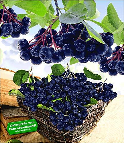 BALDUR Garten Vitaminbeere Apfelbeere 'Aronia Viking', 1 Pflanze Aronia melanocarpa