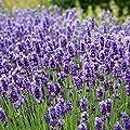 Outsidepride Lavender - English