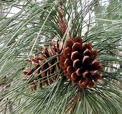 Big Pack Bonsai Tree Seeds - Bull Blackjack Pine Tree (50 Seeds) - Pinus Ponderosa Pine Tree Seeds - Non-GMO Seeds by MySeeds.Co (Big Pack - Ponderosa Pine)