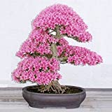 TENGGO Egrow 10UNIDS RARA Sakura Semillas Semillas de Flores de Cerezo Flor de Jardín Bonsai Árbol