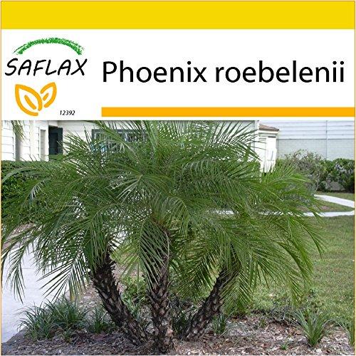 SAFLAX - Anzucht Set - Zwerg - Dattelpalme - 25 Samen - Mit Mini-Gewächshaus, Anzuchtsubstrat und 2 Töpfen - Phoenix roebelenii