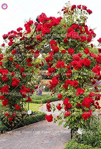 200PCS rosier grimpant Graines Rare Belle Graines de fleurs vivaces Rose chinoise Décor Plante en pot pour jardin 5