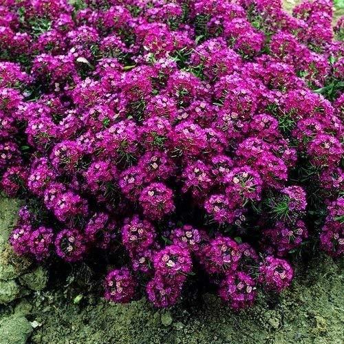 vegherb Alyssum Königs Teppich Blumensamen (Lobularia Maritima) 200 + Seeds