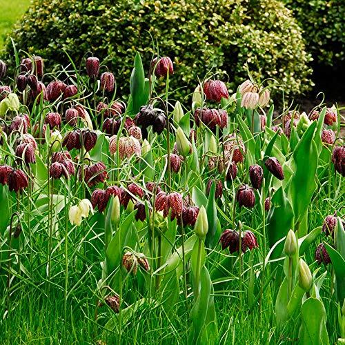 25x Fritillaria meleagris | 25er Mix Schachbrettblume Zwiebeln | Blumenzwiebel Winterhart | Ø 6-8 cm