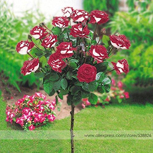 Une nouvelle variété hybride Arbre Blanc Rose Rouge Graines de fleurs, Paquet professionnel, 50 graines / Pack, Jardin Parfumé Bonsai Fleur # NF757