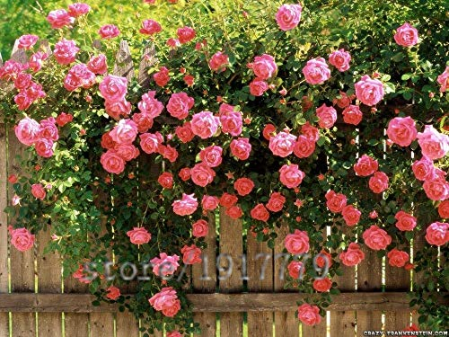 100 pcs Escalade graines Rose, rare rose fleurs graines bonsaï, bricolage jardin Cour Pot de fleur Plante multi-couleur de sélection