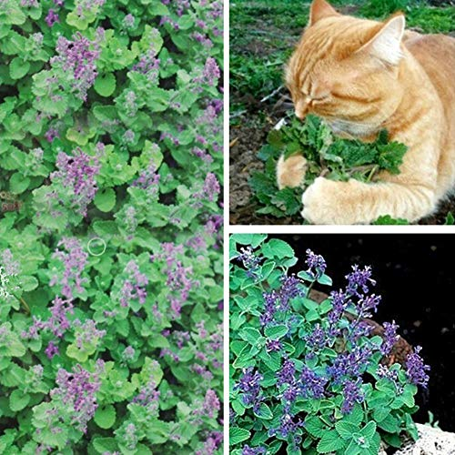 quanjucheer 50 Pcs Cataire Graines Nepeta Cataria Graines Cataire Catmint Jardin Herbe Plante Bonsaï Chats Collations Graine de cataire