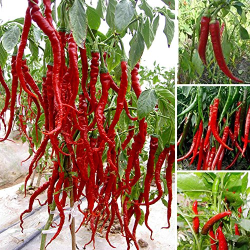 Bloom Green Co. 100 Giant Spices Spicy Red Chili Hot Pepper Seeds Plants 20\