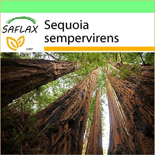 SAFLAX - Garden to Go - Secuoya roja - 50 semillas - Con macetero de barro, platillo, sustrato para cultivo y fertilizante - Sequoia sempervirens
