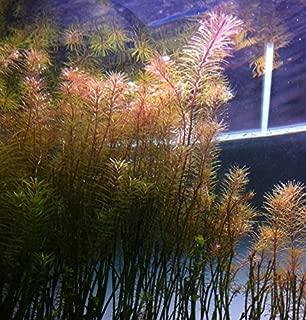 Greenpro Rotala Wallichii Live Aquarium Plants Freshwater Tanks Decorations