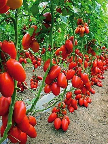 Portal Cool Tomate - Roma 100 graines