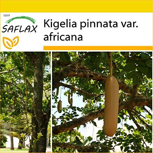 SAFLAX - Anzucht Set - Leberwurstbaum - 10 Samen - Mit Mini-Gewächshaus, Anzuchtsubstrat und 2 Töpfen - Kigelia pinnata