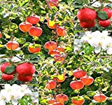 zone 5 fruit trees - Big Pack - (500) Red Delicious Apple - Malus pumila Tree Seeds - Very Cold Hardy in Zones 3-8 by MySeeds.Co (Big Pack - Paradise Apple)