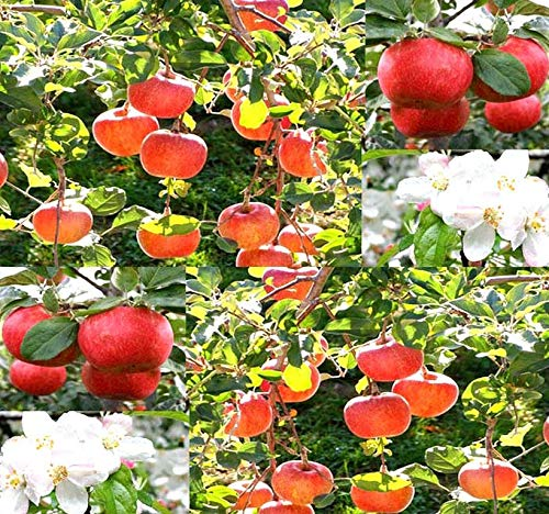Big Pack - (500) Red Delicious Apple - Malus pumila Tree Seeds - Very Cold Hardy in Zones 3-8 by MySeeds.Co (Big Pack - Paradise Apple)