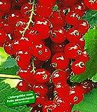 BALDUR Garten Johannisbeeren 'Rote Rovada', 1 Strauch, Ribes rubrum Johannisbeerstrauch Beerenobst winterhart
