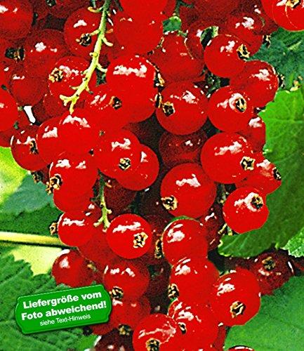 BALDUR-Garten Johannisbeeren 'Rote Rovada', 1 Strauch, Ribes rubrum Johannisbeerstrauch Beerenobst winterhart
