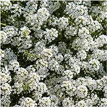 alyssum carpet of snow seeds