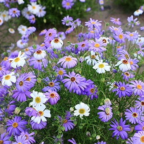 B/H Maison Jardin Extérieurplante,semences Florales,Graines de Fleurs en Pot de Sisaket Seed Garden Indoor Balcony-2kg