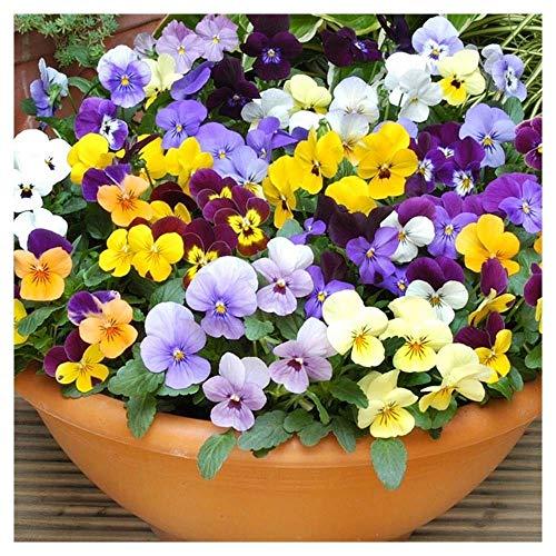 Premier Seeds Direct VLA03F Große BlumenSamenmisch der Hornveilchen (Packung mit 150)