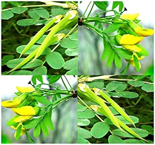 Siberian PEA TREE PEA SHRUB - Caragana arborescens Seeds - FRAGRANT BLOOMS - EXCELLENT BONSAI VARIETY - By MySeeds.Co (0020 Seeds - 20 Seeds - Pkt. Size)