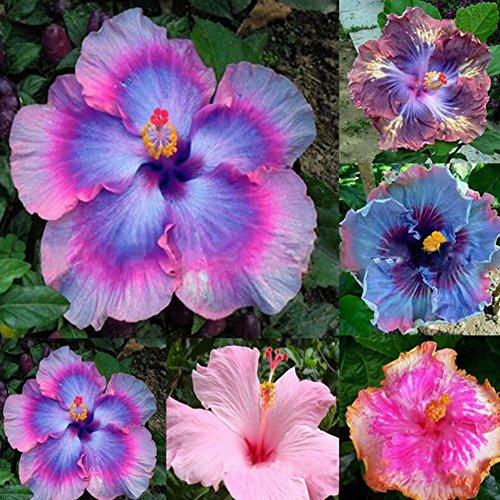 KimcHisxXv Riesen Hibiskus Samen, 100 St¨¹cke Seltene Regenbogen Farbe Riesen Hibiskus Samen Topfpflanze Mehrj?hrige Blumensamen