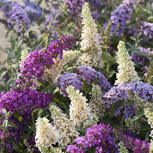 THOMPSON & MORGAN Buddleia Tricolour Bush