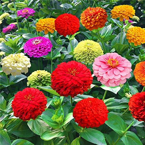Estivi Semi,Semi per Piante da Giardino,Zinnia Specie di Fiori Colorati Giardino Fiorito a Doppia Stagione all'aperto-Verde 500 Capsule
