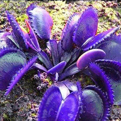 Acecoree Samen Haus- 50 stücke Selten Fliegenfalle Samen Venusfliegenfalle Samen Anti Moskito Dionaea Muscipula Blumensamen Pflanzensamen für Balkon/Garten