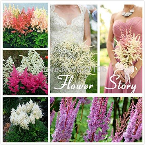 50 Astilbe semences (chalet de fleurs de rose) - parfaite fleur plante de couleur de mélange pour l'ombre, jardin