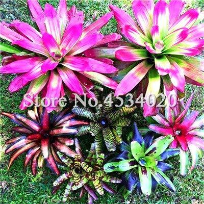 Ferry 200 Stück Seltener Mini Bonsai Bromelie Palnts, exotische Pflanze Bonsai Blume, Zimmerpflanzen Strahlenschutz Bonsai reinigt die Luft: 4