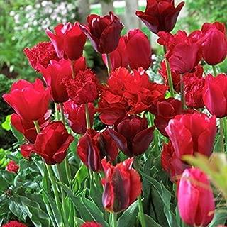 Van Zyverden 87016 Tulips-Non-Stop Red Blend-Set of 25 Flower Bulbs, 12 cm/+,